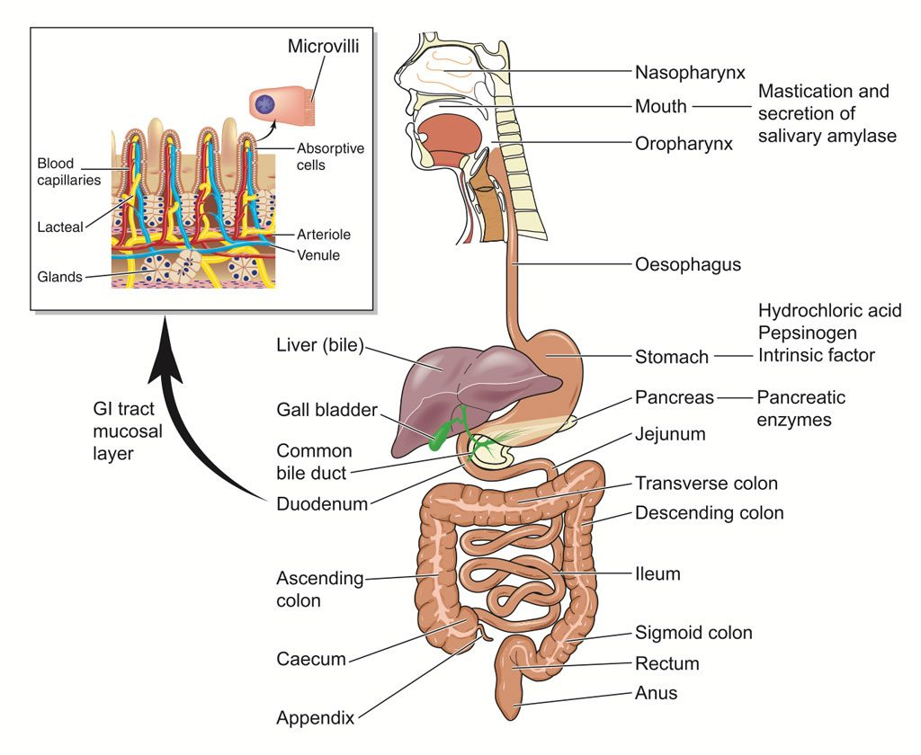 General Surgery Alimentary (or digestive) tract, including the mouth, esophagus, pharynx, stomach, large and small intestines